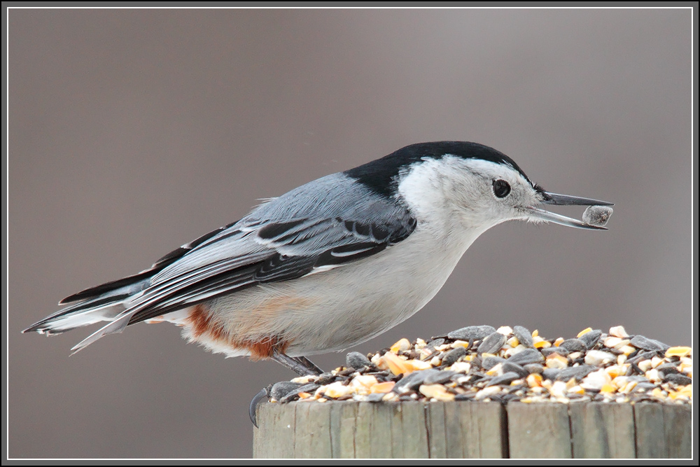 IMAGE: http://gabebalazsphoto.com/misc_photos/Nuthatch%20with%20Sunflower%20Seed.jpg